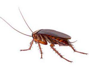cafards et blattes